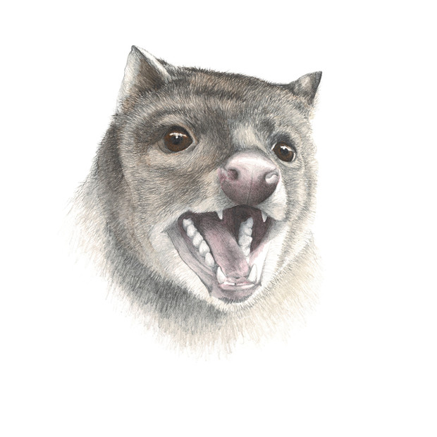 Spotted-tail quoll portrait