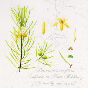 Persoonia pauciflora, North Rothbury persoonia