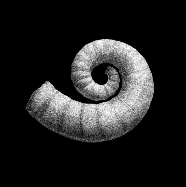 Ram's horn squid shell