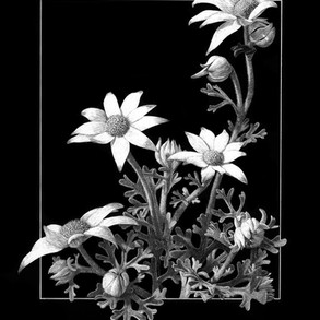 Flannel flowers III