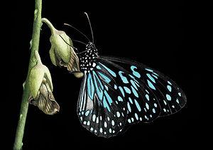 blue tiger_.jpg