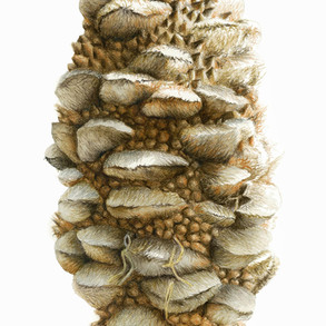 Old man banksia cone