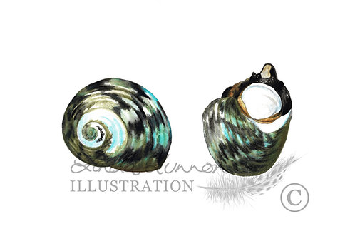 Common warrener shell
