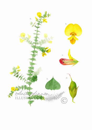 Pultenaea spinosa