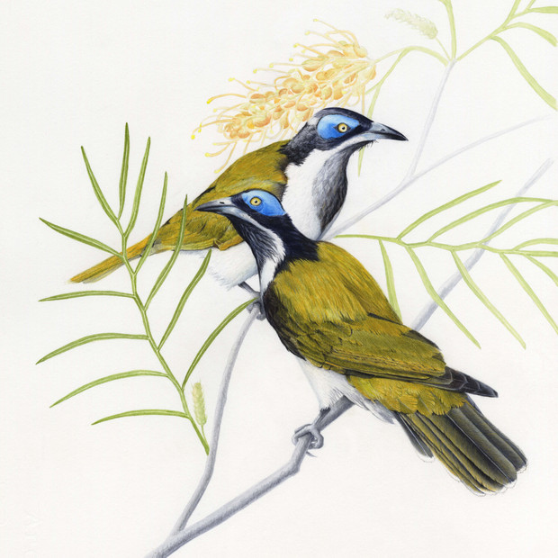 Blue-faced honeyeaters