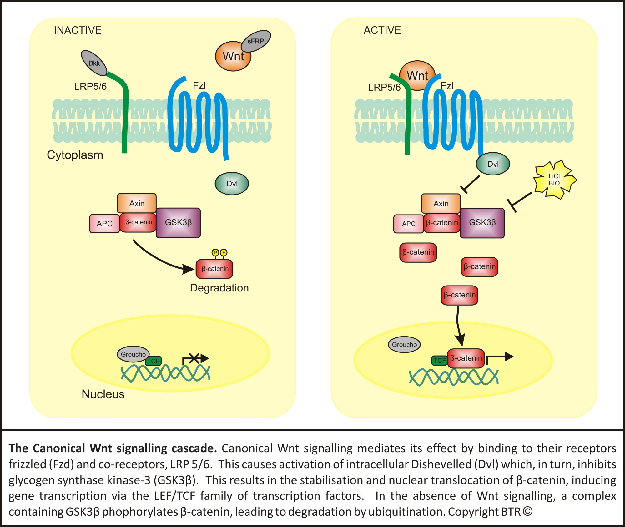 Wnt signalling active/inactive