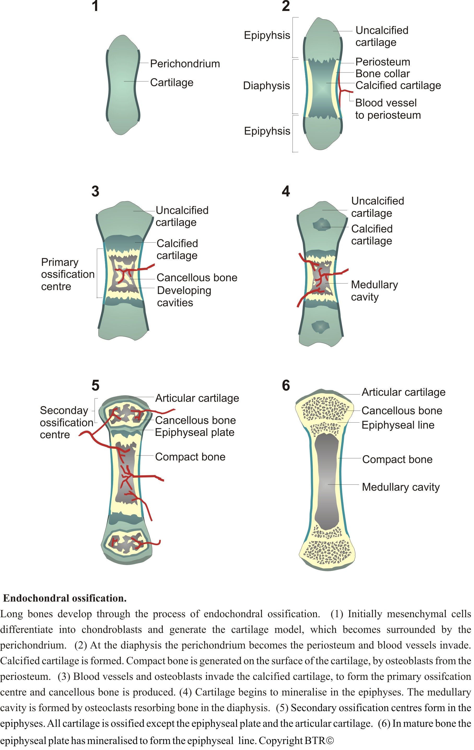 endochondrial ossification