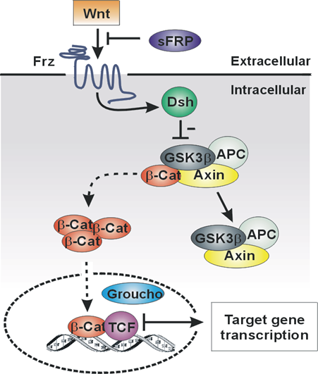 Canonical Wnt Activation