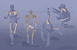 Evolution of the Shoulder Girdle. To learn more, visit the link below: