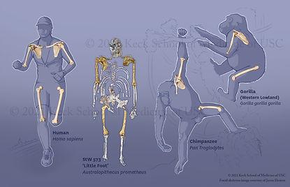 Evolution of the Shoulder Girdle