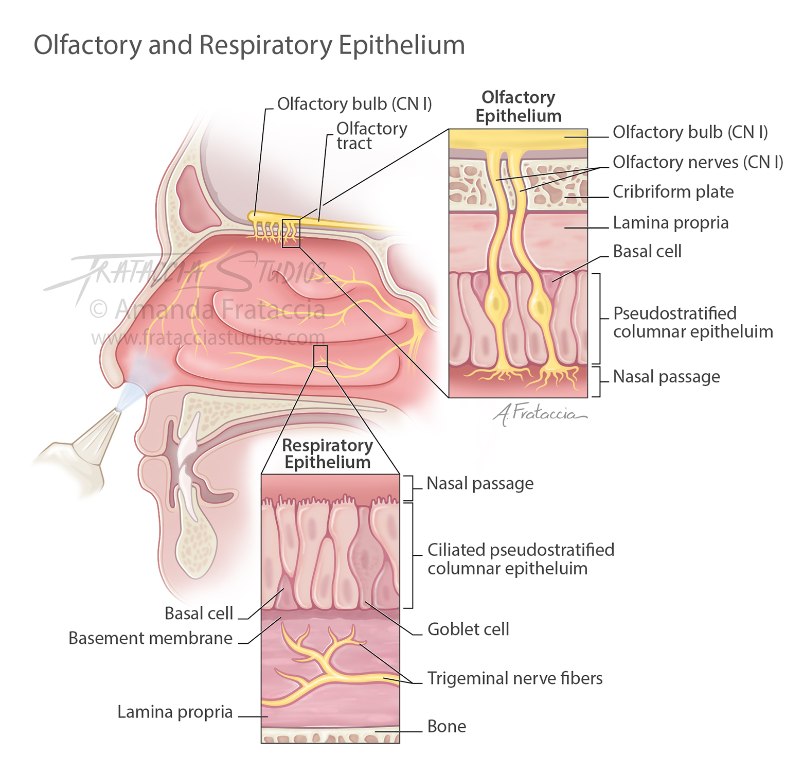 Olfactory and Respiratory Epithelium