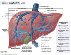Venous Supply of the Liver
