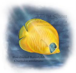 Blue-cheeked Butterflyfish