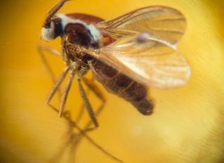 Szúnyog a borostyánban