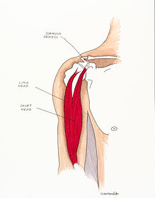 Muscle-Biceps-6.jpg