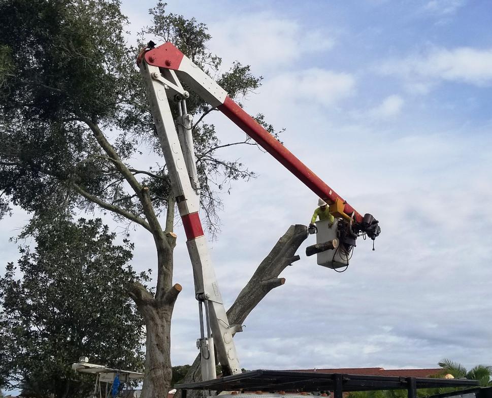 sarasota tree removal stillmans_edited.j