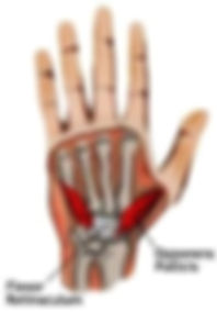 Opponens-pollicis-and-Flexor-Retinaculum