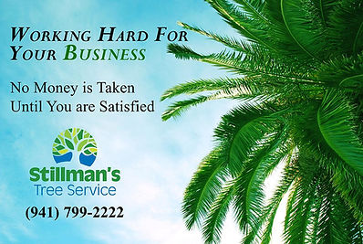 tree removal services in bradenton andsarasota by stillmans tree services