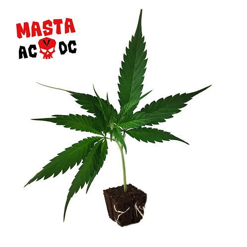 Masta AcDc