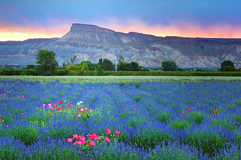 lavender-fields-Lavender Association of Colorado.png