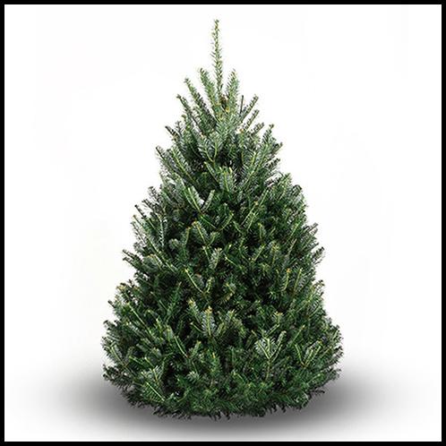 Balsam Christmas Trees.Premium Balsam Fir Christmas Tree Shipped