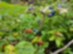 Berries in the garden of Koru cottage