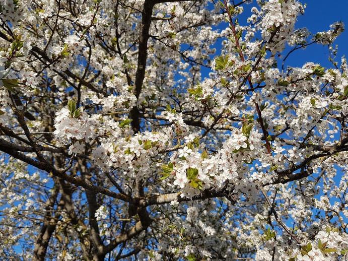 Appel tree in bloom