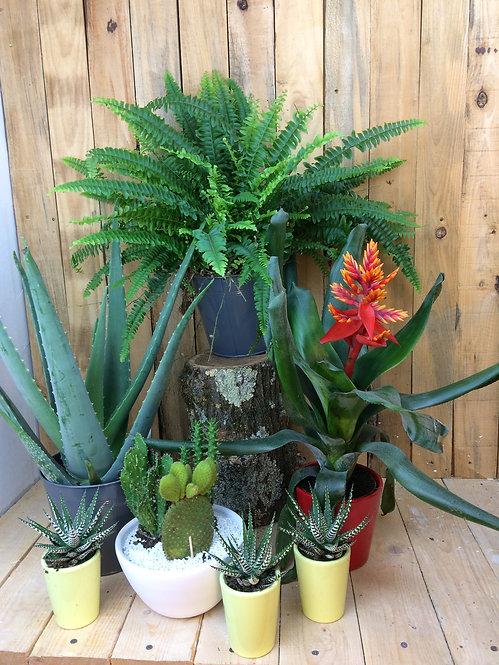 Plante verte au choix du Fleuriste