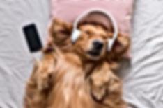 The Golden Retriever wearing headphones