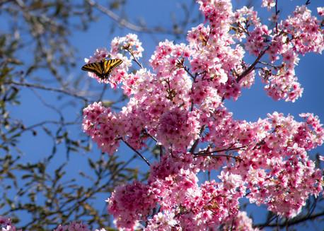 blossoms butterfly-123.jpg