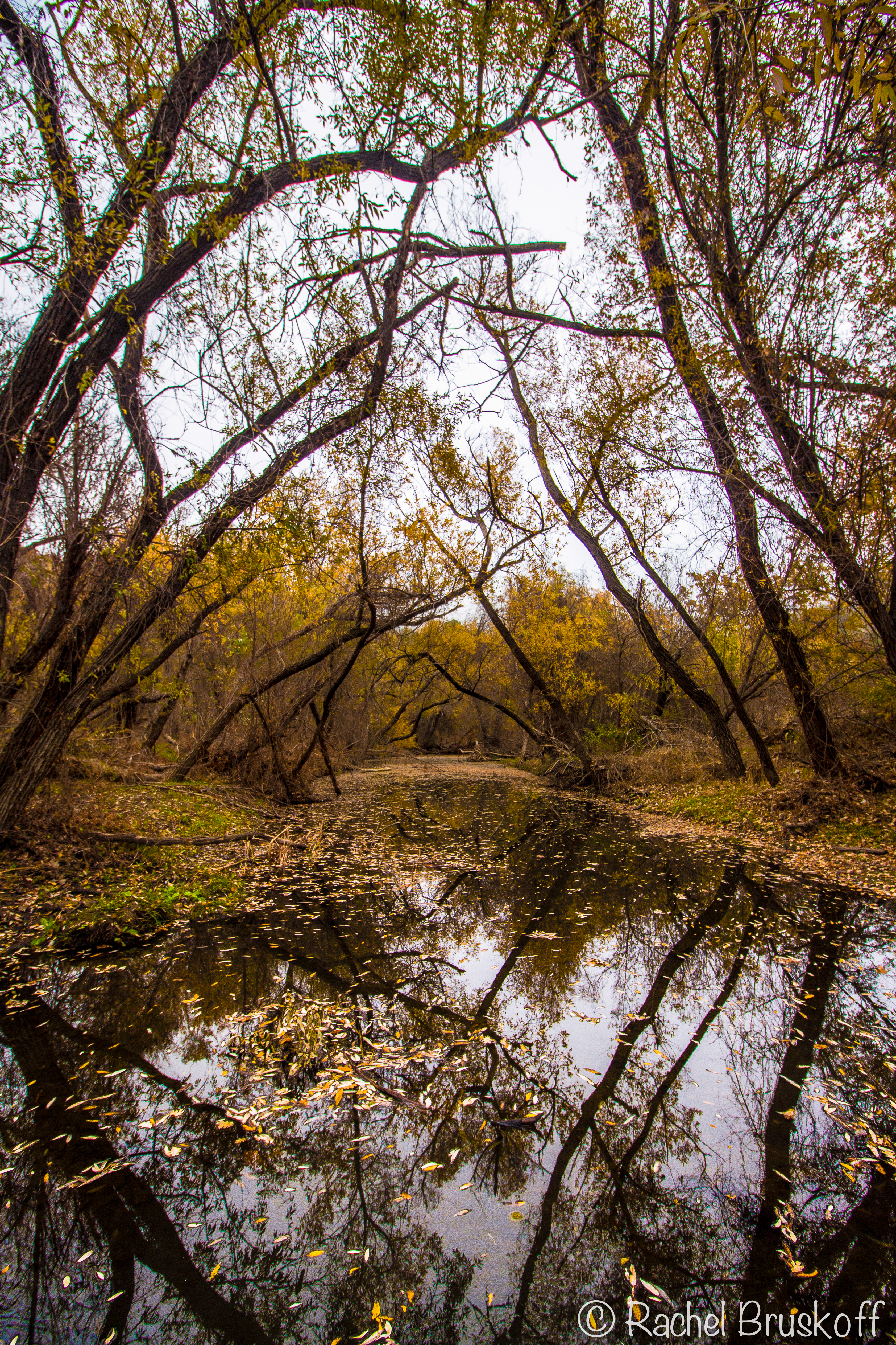 yellow tree reflections-8446