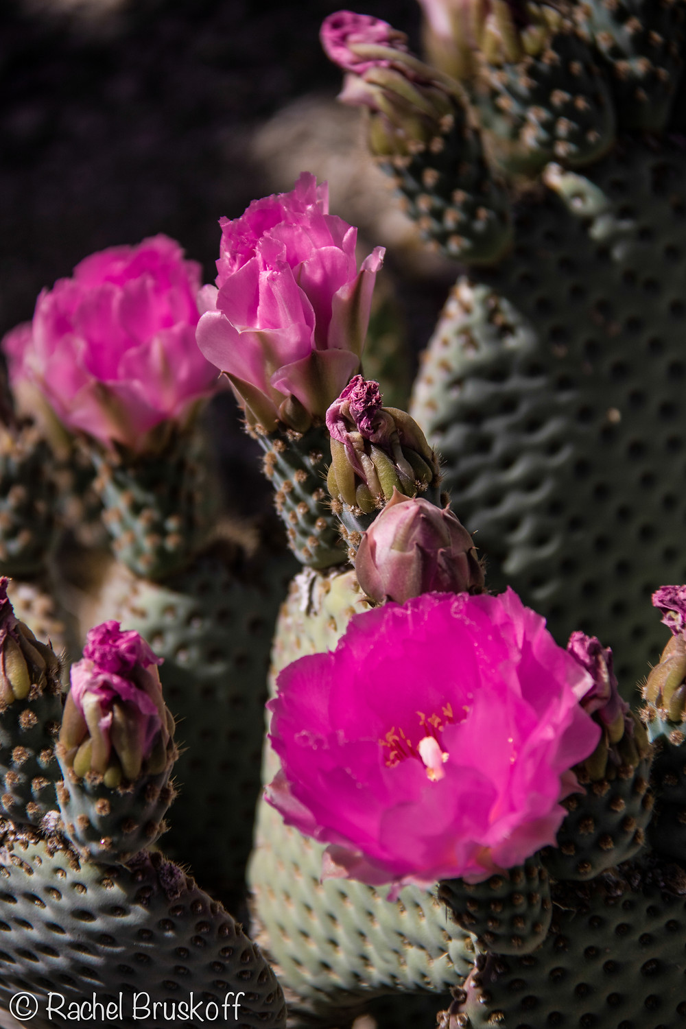 The beaver tail cacti had bright pink blossoms.