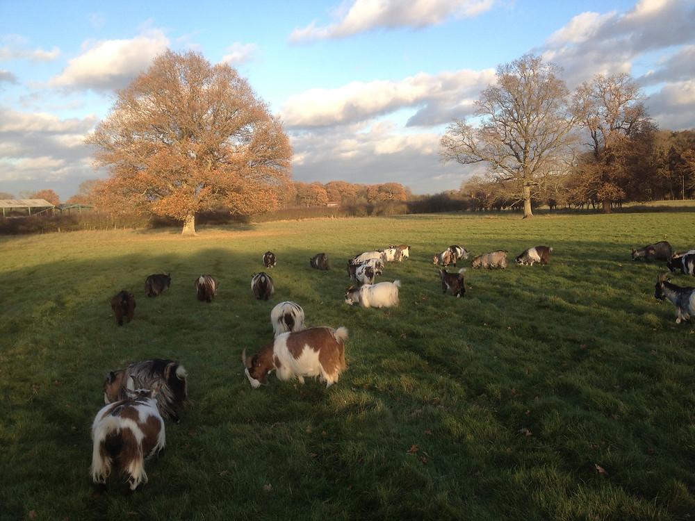 The herd grazing 25/11/17