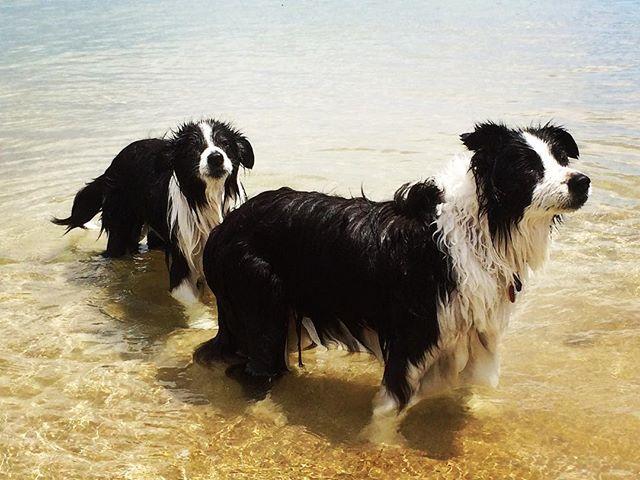 #beach #bordercollies #bestdogs