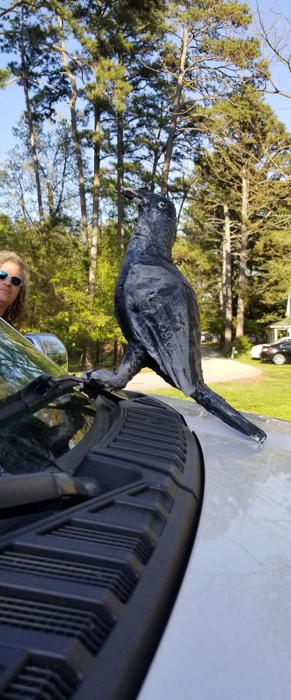 Crow taking a ride