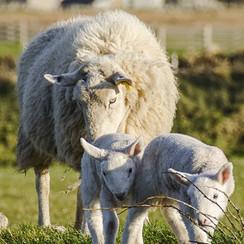sheep-1289929_1920.jpg