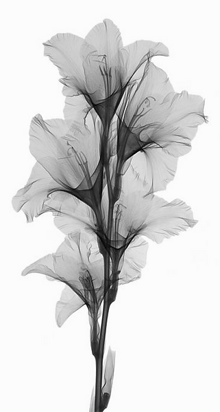 Blume%20BW_edited.png