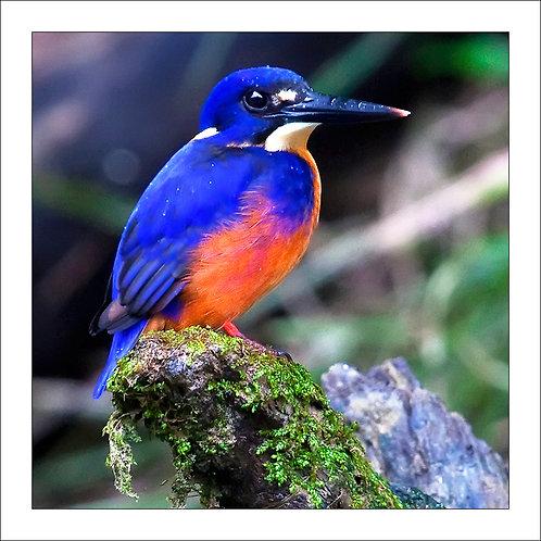 fp230. Azure Kingfisher