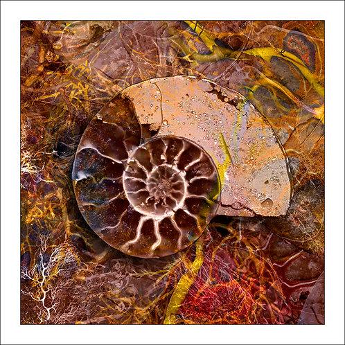 fp198. Ammonite One
