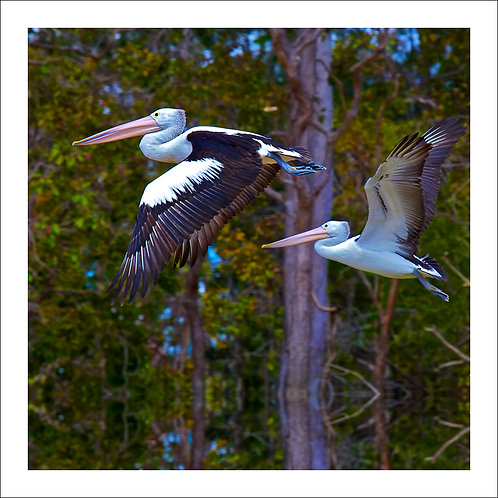 fp216. Flying Pelicans (two birds)