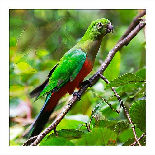 fp65. King Parrot (juvenile male)