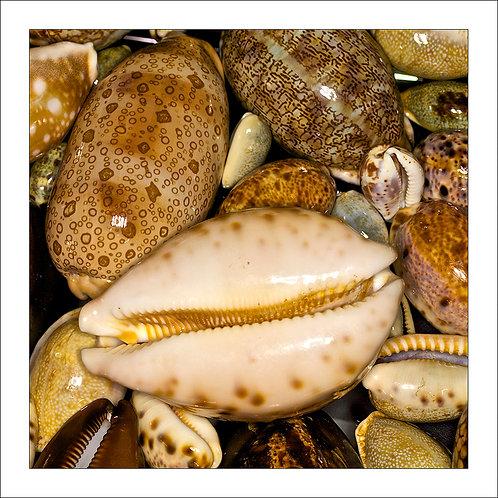 fp176. Cowrie Shells
