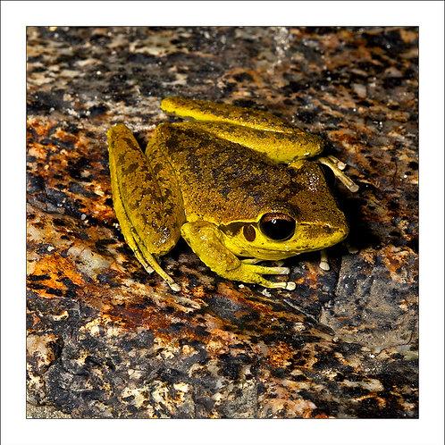 fp117.Granite Frog
