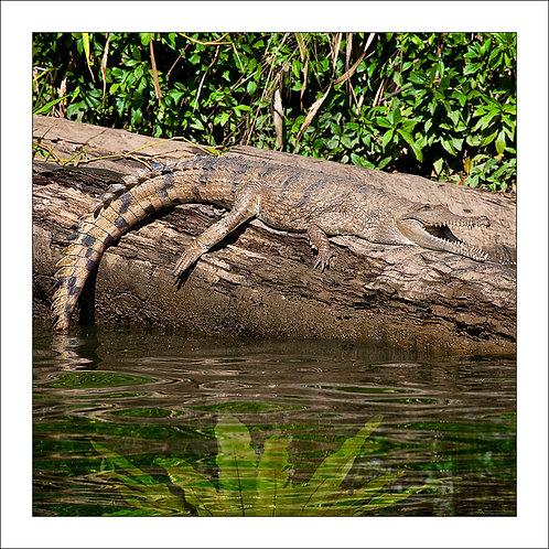 fp210. Freshwater Crocodile