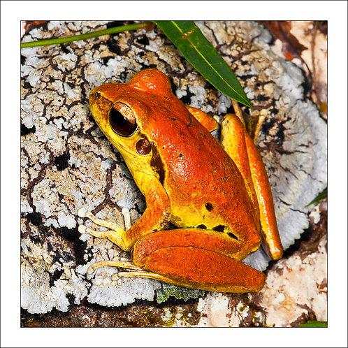 fp213. Stoney Creek Frog