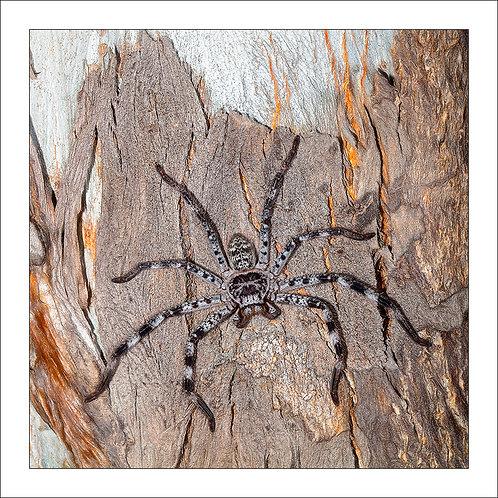 fp252. Banded Huntsman Spider (Holconia hirsutus)
