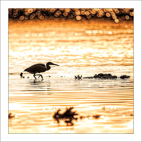 fp303. Reef heron