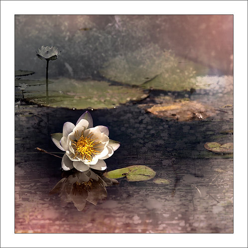 sepia colour dreamlike scene of lotus flower with lillypads