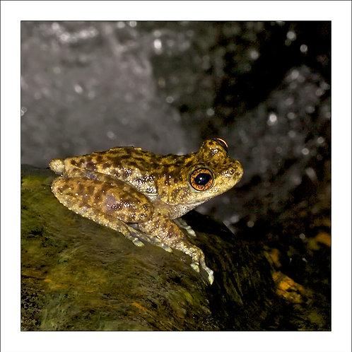 fp120. Waterfall Frog lookout (Litoria nannotis)