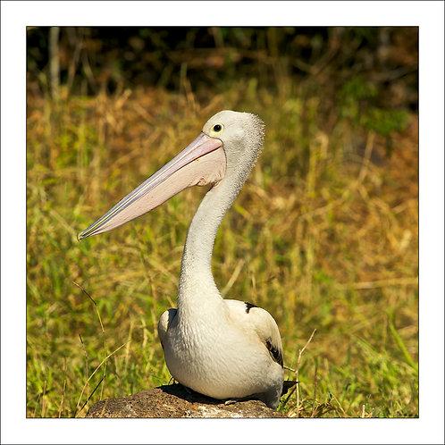 fp110. Pelican Portrait